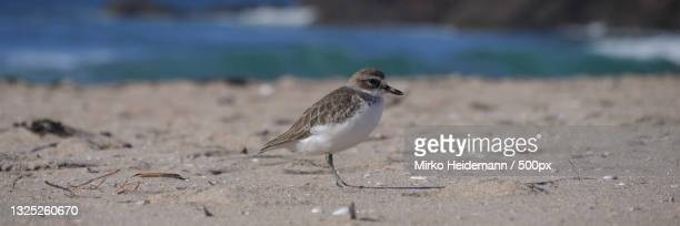 close-up of plover perching on sand at beach - kentish plover stock pictures, royalty-free photos & images