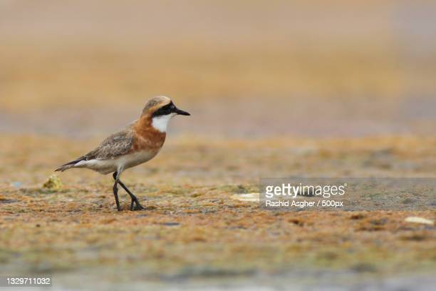 close-up of plover perching on sand - kentish plover stock pictures, royalty-free photos & images