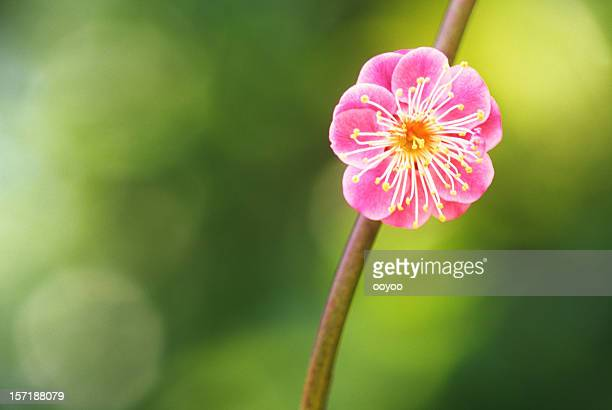 クローズアップの梅の花