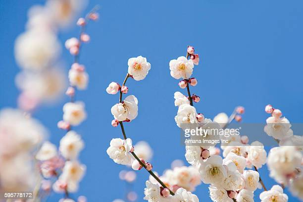 Close-up of plum blossoms