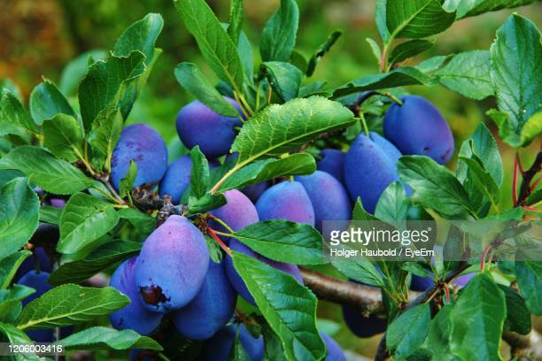 close-up of plum fruits growing on tree - monchique stock pictures, royalty-free photos & images