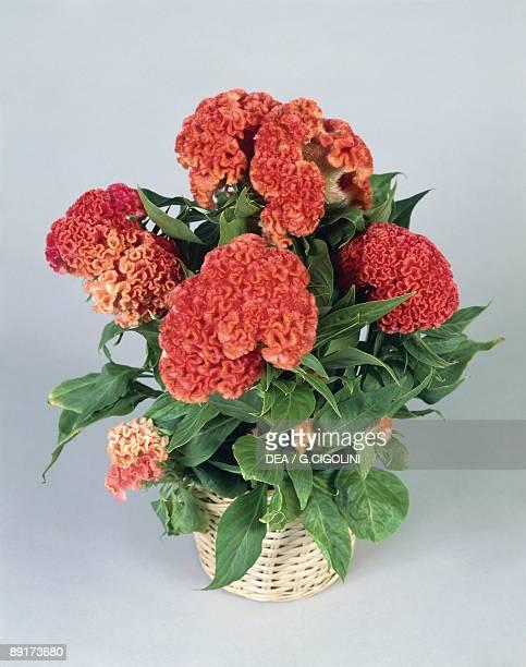 Closeup of Plumed Cockscomb flowers
