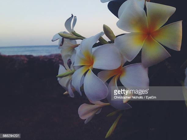 Close-Up Of Plumeria Flowers Growing On Beach At Dusk