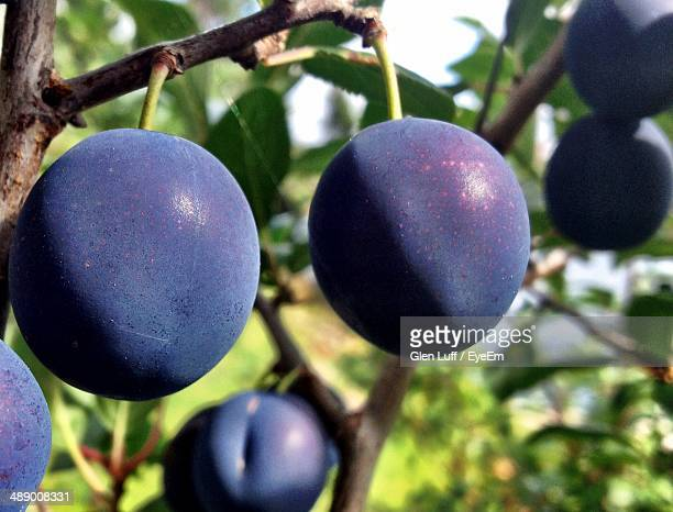 Close-up of plums growing on tree