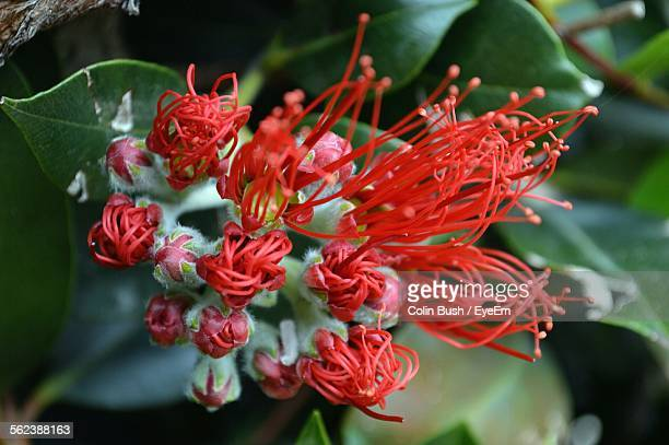 Close-Up Of Pohutukawa Flowers Blooming In Garden
