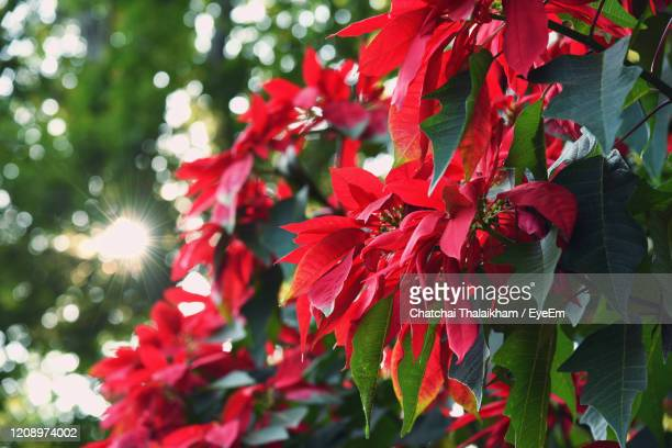 close-up of poinsettia flowering plant - chatchai thalaikham stock pictures, royalty-free photos & images
