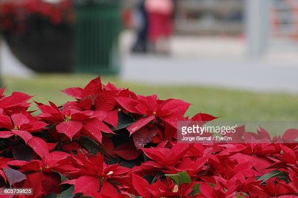 Close-Up Of Poinsettia Growing Outdoors