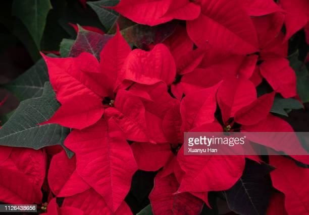 close-up of poinsettias - flor de pascua fotografías e imágenes de stock