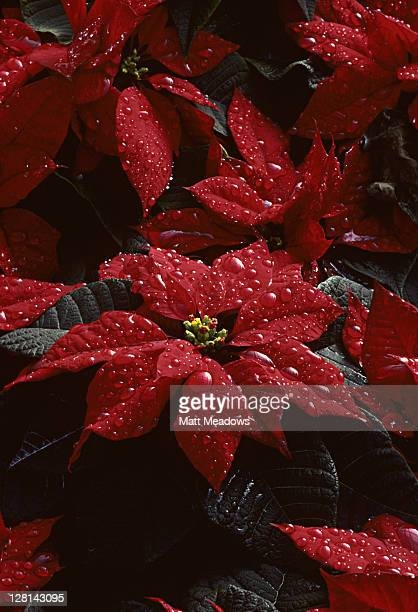Closeup of poinsettias with waterdrops in computer-controlled greenhouse, ready for harvest