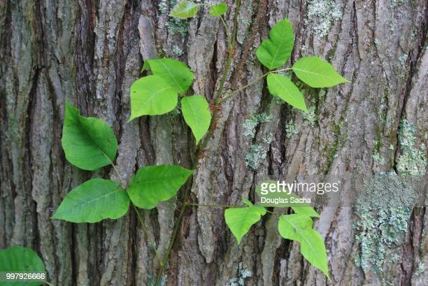 close-up of poison ivy growing on a tree (toxicodendron radicans) - poison oak stock pictures, royalty-free photos & images