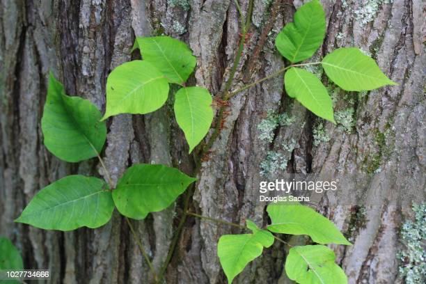 close-up of poison ivy toxic plant (toxicodendron radicans) - poison oak stock pictures, royalty-free photos & images