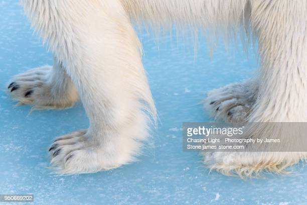 close-up of polar bear paws - animal hair stock pictures, royalty-free photos & images