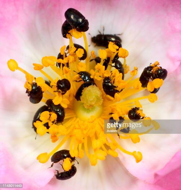 Closeup of Pollen beetles feeding on pollen in the centre of a single rose in a Norfolk garden in summer UK This common beetle feeds on most flowers...