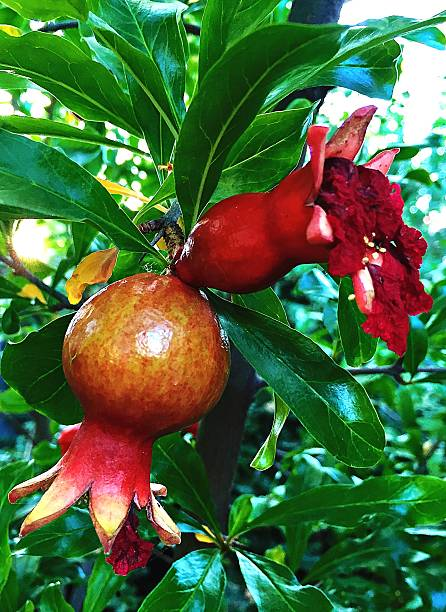 close-up of pomegranate flowers - pomegranate tree stock photos and pictures