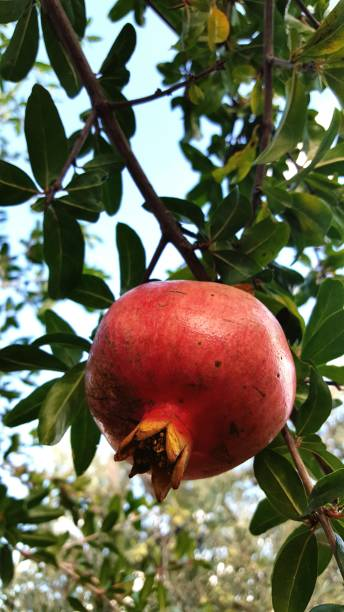 close-up of pomegranate fruit on tree - pomegranate tree stock photos and pictures