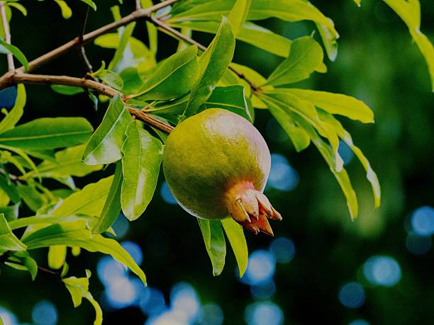 close-up of pomegranate growing on tree - pomegranate tree stock photos and pictures
