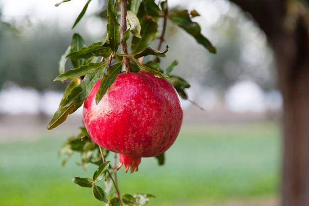 close-up of pomegranate on branch - pomegranate tree stock photos and pictures
