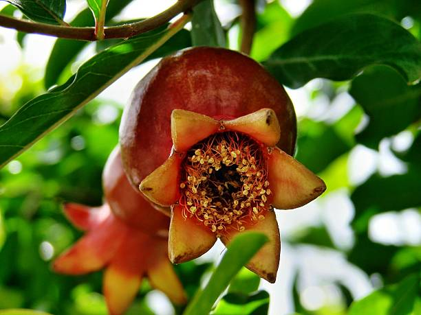 close-up of pomegranate on tree - pomegranate tree stock photos and pictures