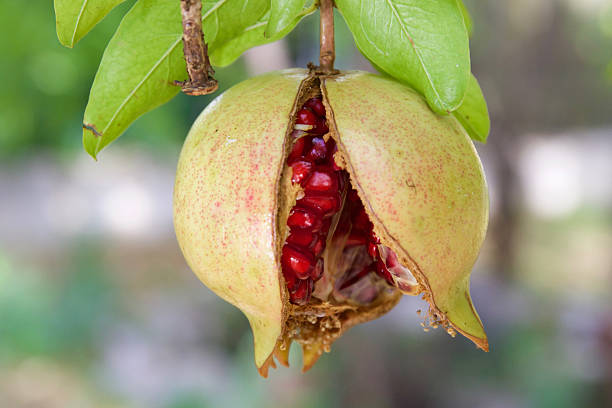 close-up of pomegranate - pomegranate tree stock photos and pictures