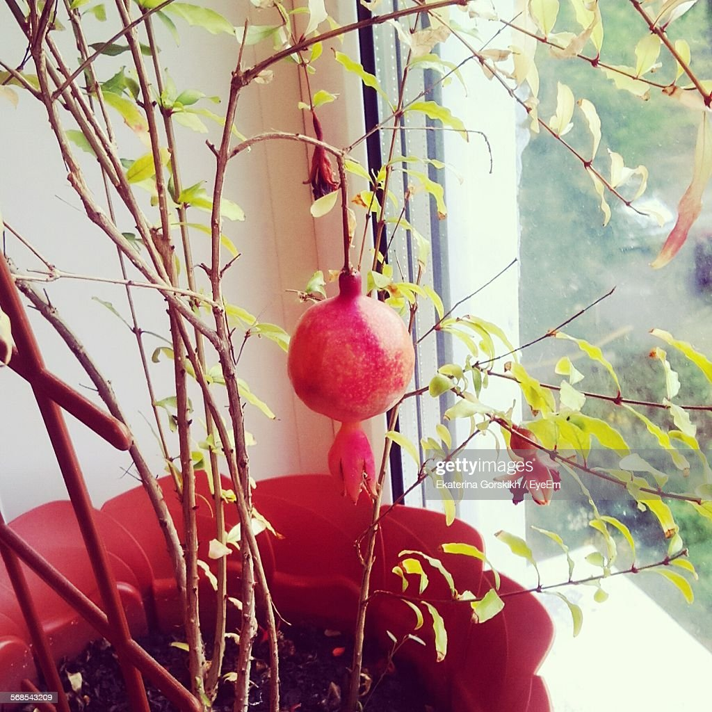 Close-Up Of Pomegranate Plant By Window At Home : Stock Photo