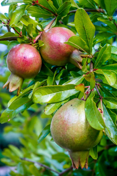 close-up of pomegranates hanging on tree - pomegranate tree stock photos and pictures