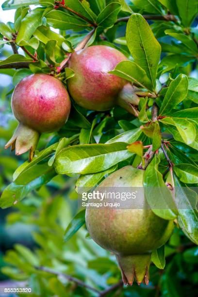 Close-up of pomegranates hanging on tree
