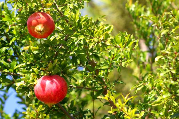 close-up of pomegranates on tree - pomegranate tree stock photos and pictures