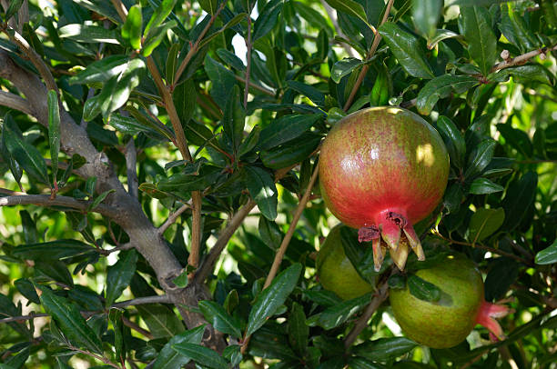 close-up of pomegranates ripening on tree - pomegranate tree stock photos and pictures