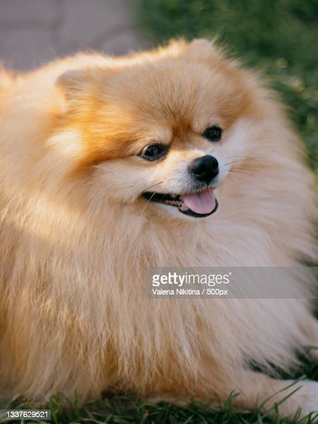 close-up of pomeranian on field,russia - nikitina stock pictures, royalty-free photos & images
