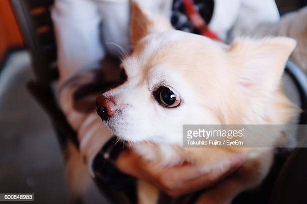 Close-Up Of Pomeranian On Person Lap