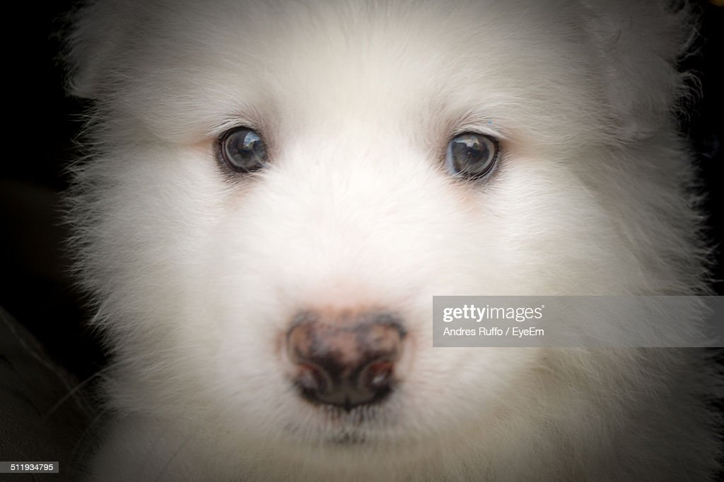 Close-up of Pomeranian : Stock Photo