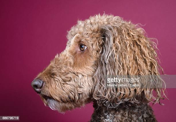 Close-Up Of Poodle Against Colored Background