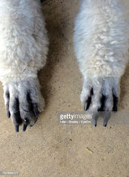 Close-Up Of Poodle Paws On Concrete Floor
