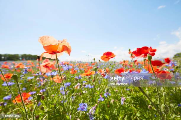 close-up of poppies and cornflowers on meadow against sunlight and blue sky - frühling stock-fotos und bilder
