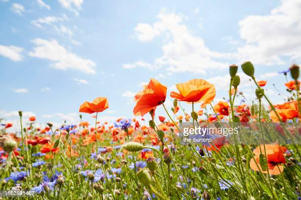 close-up of poppies and cornflowers on meadow against sunlight and blue sky - wiese stock-fotos und bilder