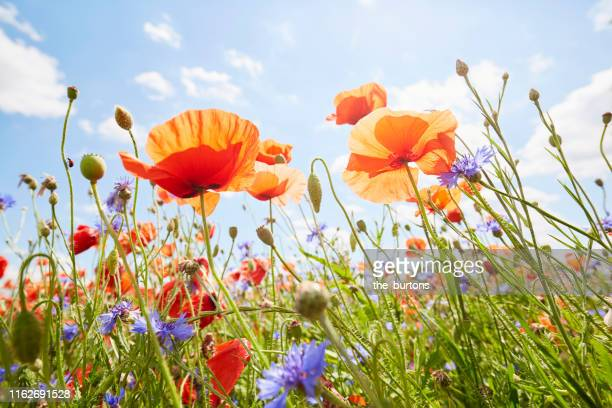 close-up of poppies and cornflowers on meadow against sunlight and blue sky - flower head stock pictures, royalty-free photos & images