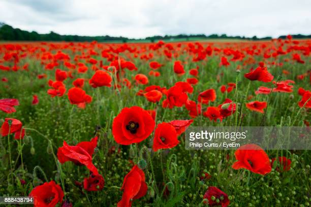close-up of poppies blooming on field against sky - poppy stock pictures, royalty-free photos & images