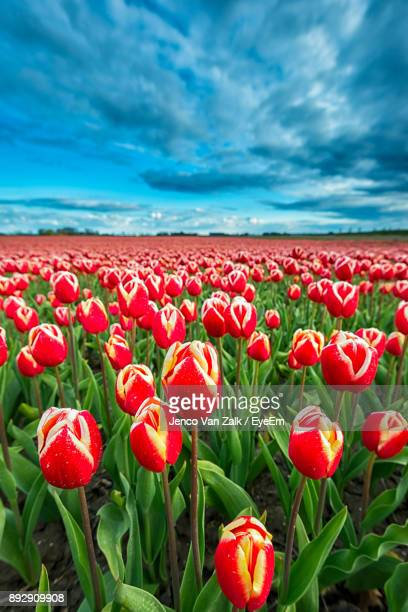 Close-Up Of Poppies Blooming On Field Against Sky