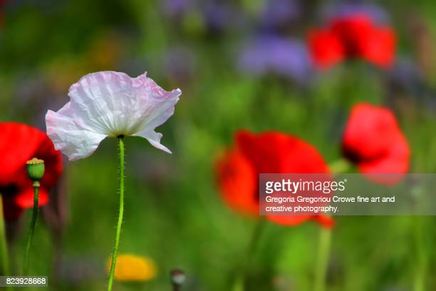 close-up of poppies blooming on meadow - gregoria gregoriou crowe fine art and creative photography. stockfoto's en -beelden