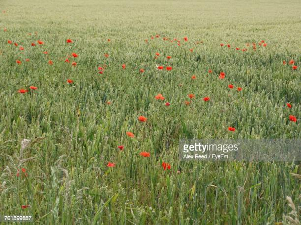 Close-Up Of Poppies Growing In Field