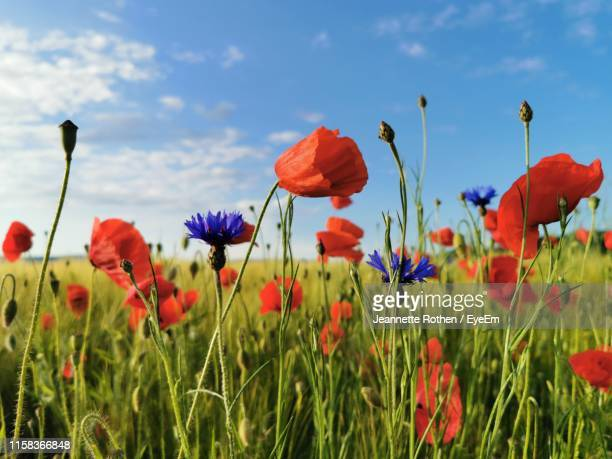 close-up of poppies on field against sky - papavero foto e immagini stock