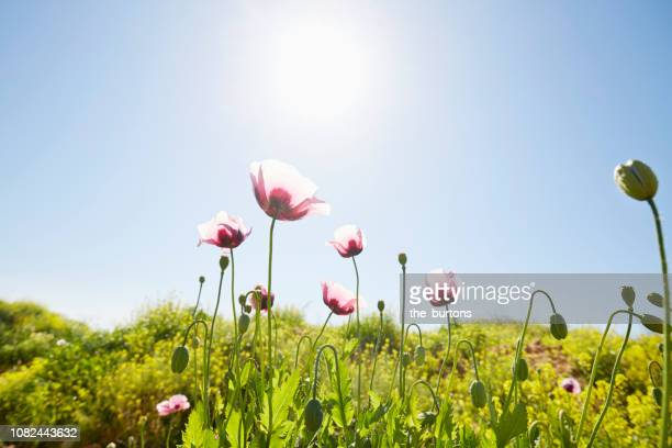 close-up of poppies on green field against sunlight and blue sky - flower head stock pictures, royalty-free photos & images