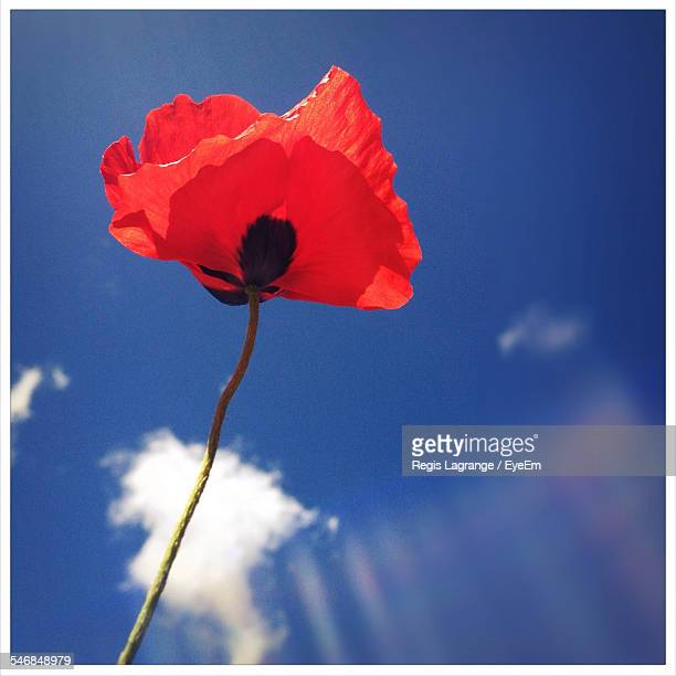 Close-Up Of Poppy Flower Against Sky