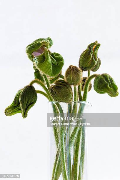 Close-Up Of Poppy Flower Buds In Vase Against White Background