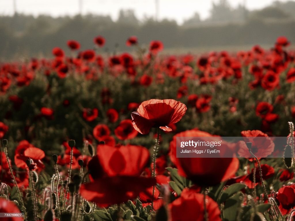Closeup Of Poppy Flowers Blooming In Spring Stock Photo Getty Images