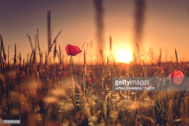 close-up of poppy flowers blooming on field - poppy stock pictures, royalty-free photos & images