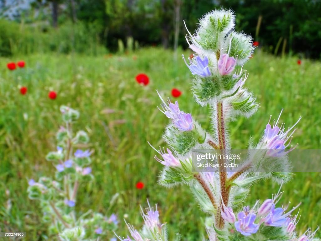Closeup Of Poppy Flowers Growing In Field Stock Photo Getty Images