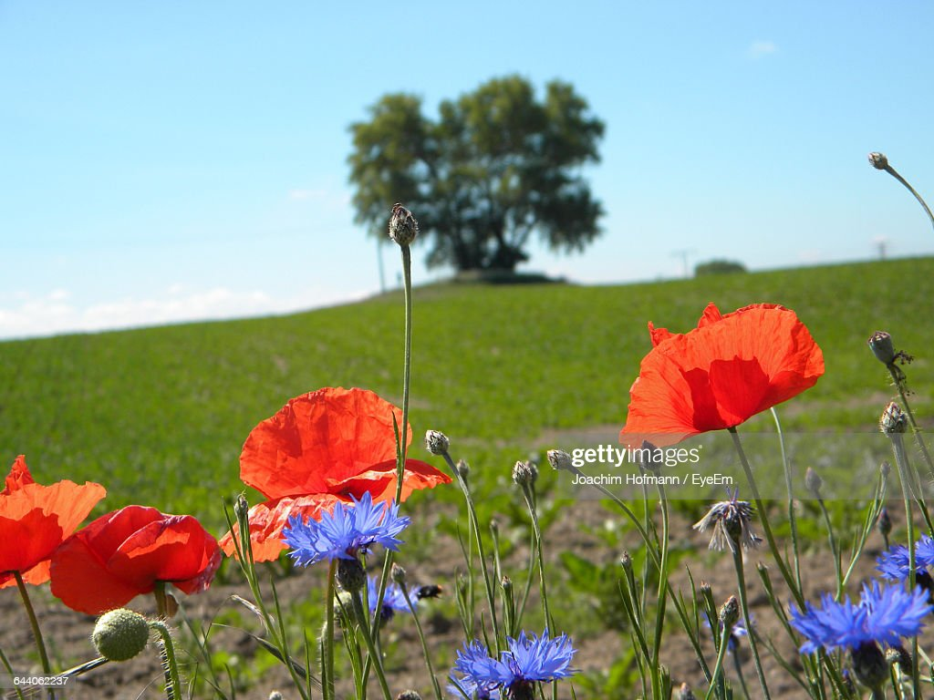Closeup Of Poppy Flowers In Field Stock Photo Getty Images