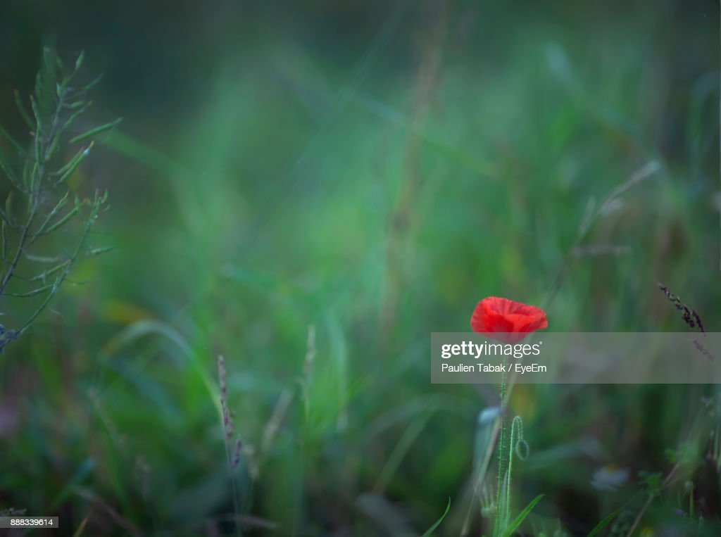 Close-Up Of Poppy In Grass : Stock Photo