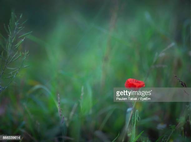close-up of poppy in grass - paulien tabak stock-fotos und bilder